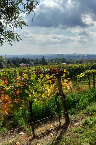 Wienin viinitarhoja